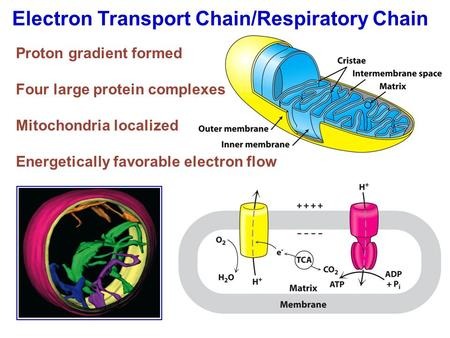Electron Transport Chain/Respiratory Chain Proton gradient formed Four large protein complexes Mitochondria localized Energetically favorable electron.