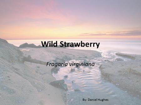 Wild Strawberry Fragaria virginiana By: Daniel Hughes.