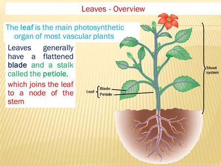 The leaf is the main photosynthetic organ of most vascular plants Leaves - Overview Shoot system Leaf Blade Petiole Leaves generally have a flattened blade.