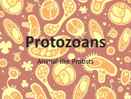 Protozoans Animal-like Protists. Protozoans Includes forams and radiolarians Found on surface and in bottom sediments Unicellular Animal like Kingdom.