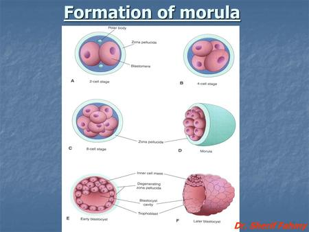 Formation of morula Dr. Sherif Fahmy.