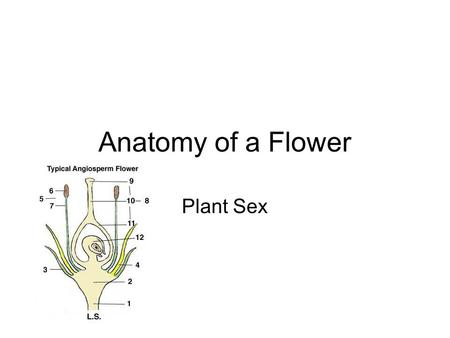 "Anatomy of a Flower Plant Sex. CBCB A -Petals Colored leaves Attract insects ""bud"" when closed."