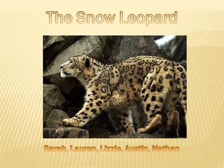 Snow leopards weigh 77 to 100 pounds and they can live 22 years. Their size in length is 6 to 7.5 feet.