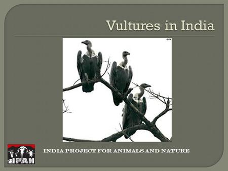INDIA PROJECT FOR ANIMALS AND NATURE.  The Indian Vulture species have suffered a 99%–97% population decrease in Pakistan and India  The cause of this.