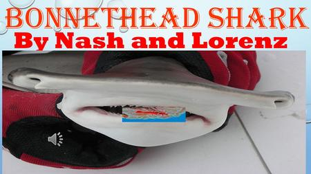 Bonnethead Shark By Nash and Lorenz  The Bonnethead's teeth, in the front of it's mouth, are small, sharp teeth. there are bigger teeth, in the back.