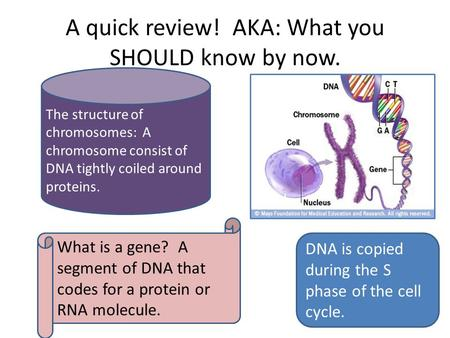 A quick review! AKA: What you SHOULD know by now. DNA is copied during the S phase of the cell cycle. What is a gene? A segment of DNA that codes for a.