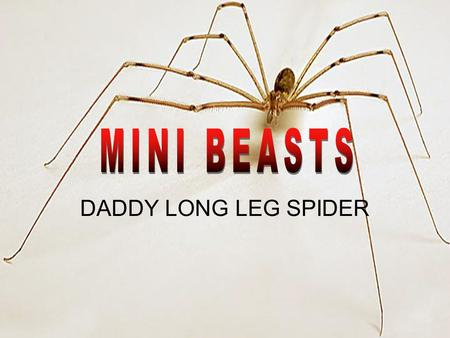 DADDY LONG LEG SPIDER. A Daddy Long Legs' body is around 2- 10mm in length and legs that can reach up to 50mm long. The first pair of legs is five and.
