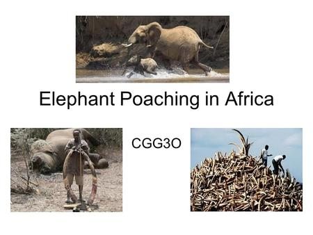 Elephant Poaching in Africa CGG3O. Why? Elephant ivory has been used by humans for millennia for various purposes In the 19th and early part of the 20th.