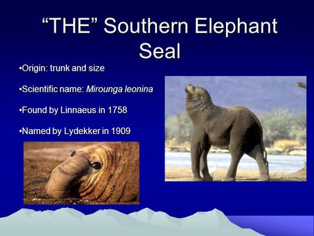 """THE"" Southern Elephant Seal Origin: trunk and sizeOrigin: trunk and size Scientific name: Mirounga leoninaScientific name: Mirounga leonina Found by Linnaeus."