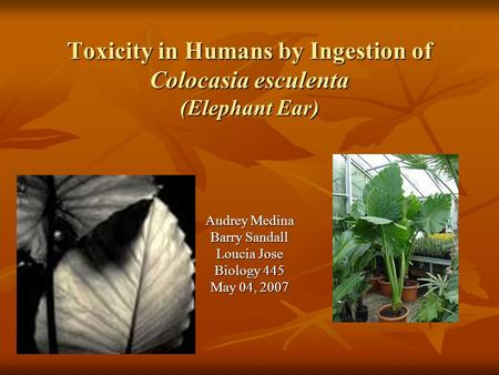 Toxicity in Humans by Ingestion of Colocasia esculenta (Elephant Ear) Audrey Medina Barry Sandall Loucia Jose Biology 445 May 04, 2007.