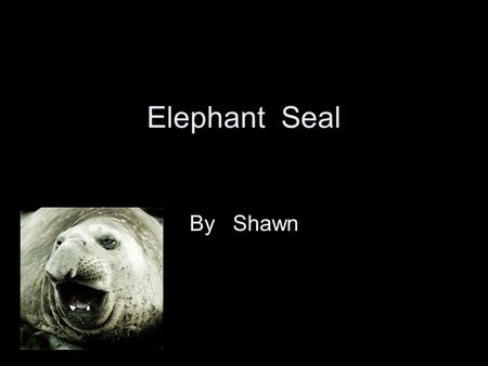 Elephant Seal By Shawn Mammal It has lungs and a backbone.