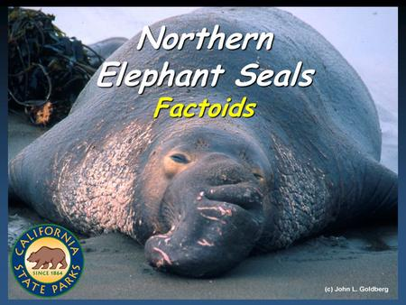 (C) 2008 California State Parks 1 Northern Elephant Seals Factoids.