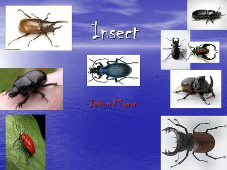 Insect Josh and Tymon. contents Beetle-3-4 Ladybirds- 5 Grasshoppers -6 Wasps -7 Caterpillars -8 Bees -9 Glossary 10.