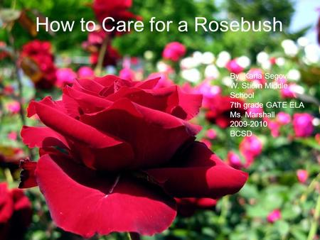 How to Care <strong>for</strong> a Rosebush By: Karla Segovia W. Stiern Middle School 7th <strong>grade</strong> GATE ELA Ms. Marshall 2009-2010 BCSD.