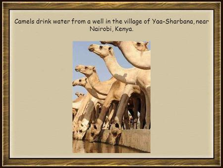 Camels drink water from a well in the village of Yaa-Sharbana, near Nairobi, Kenya.