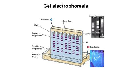 Gel electrophoresis The gel electrophoresis method was developed in the late 1960's. It is a fundamental tool for DNA sequencing.