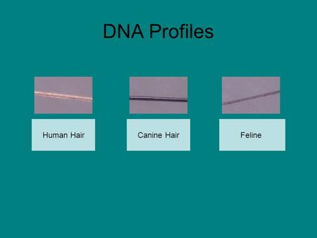 DNA Profiles Human HairFelineCanine Hair. Annabel Farqua Click picture to view DNA profile.