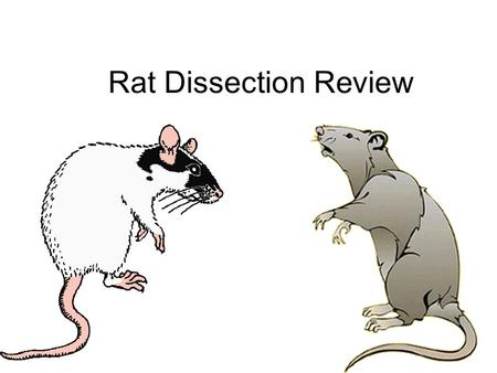 Rat Dissection Review. Rat Dissection 1.Trachea 2.Heart 3.Lung 4.Diaphragm Source #2 THORACIC CAVITY.