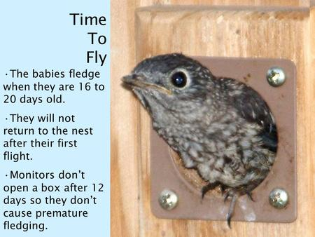 Time To Fly The babies fledge when they are 16 to 20 days old. They will not return to the nest after their first flight. Monitors don't open a box after.