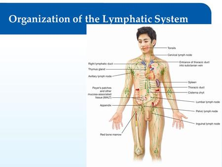 Permission granted to reproduce for educational use only.© Goodheart-Willcox Co., Inc. Organization of the Lymphatic System.