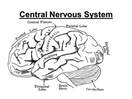 1 Central Nervous System. 2 Main parts of the CNS: 1, BRAIN_________________ _________________________ 2, SPINAL CORD _________________________________________.
