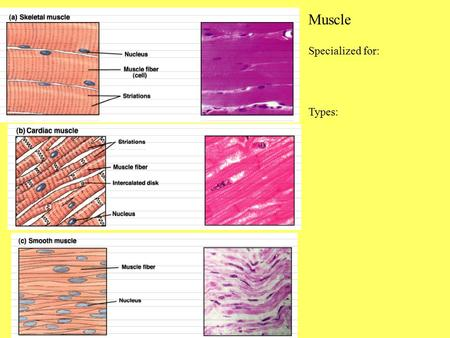Muscle Specialized for: Types:.