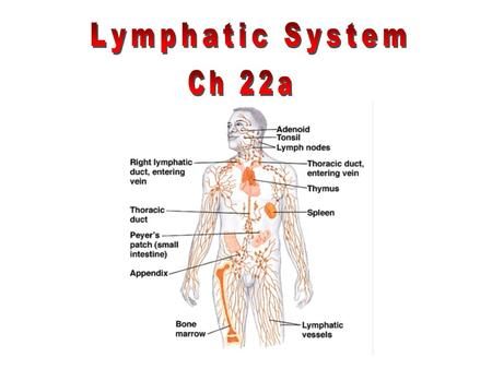 Part of the immune system that consists of 2 independent parts: 1.meandering network of lymphatic vessels 2.various lymphoid tissues and organs Lymphatic.