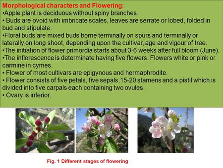 Morphological characters and Flowering: Apple plant is deciduous without spiny branches. Buds are ovoid with imbricate scales, leaves are serrate or lobed,