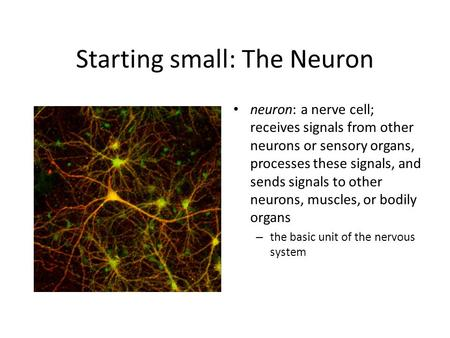 Starting small: The Neuron neuron: a nerve cell; receives signals from other neurons or sensory organs, processes these signals, and sends signals to other.