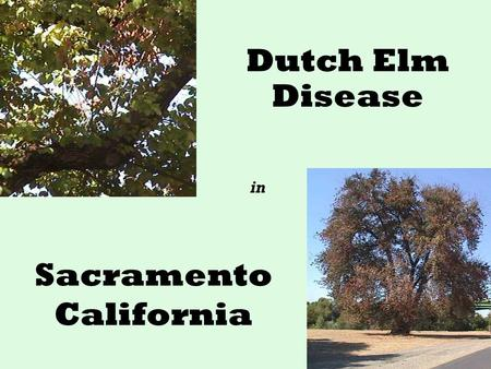 Sacramento California Dutch Elm Disease in. What is Dutch Elm Disease (DED)? DED is caused by a rapidly spreading fungus Invades water conducting system.