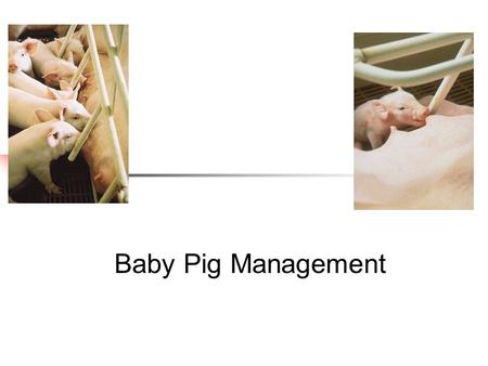 Baby Pig Management. Swine Care and management of the sow signs at farrowing nervous and uneasy enlarged vulva mucouse discharge milk letdown pawing (making.