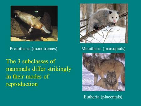 The 3 subclasses of mammals differ strikingly in their modes of reproduction Prototheria (monotremes)Metatheria (marsupials) Eutheria (placentals)