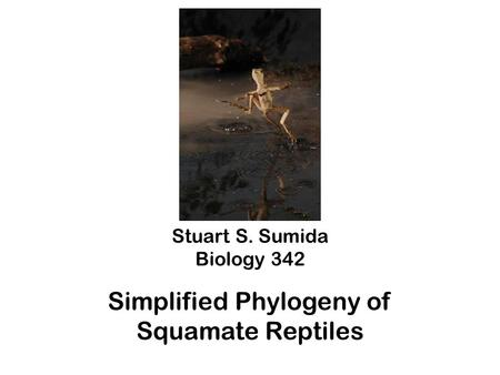 Stuart S. Sumida Biology 342 Simplified Phylogeny of Squamate Reptiles.