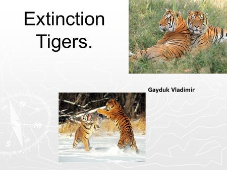 Extinction Tigers. Gayduk Vladimir. ► In XX century, the tiger is included in the IUCN Red List, in the Red Book of Russia, as well as documents of title.
