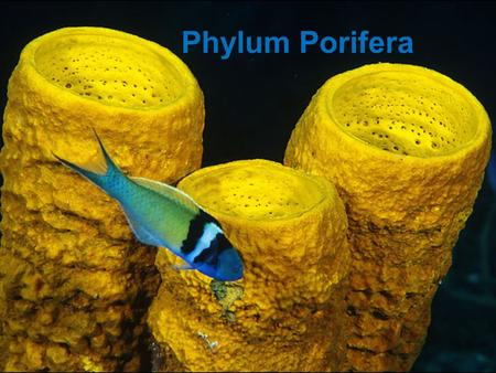 Phylum Porifera. SYMMETRY Asymmetrical: without symmetryAsymmetrical: without symmetry Radially symmetrical: circle base/cut like a pieRadially symmetrical: