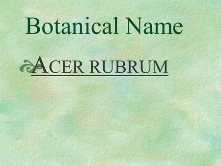 Botanical Name  A CER RUBRUM Pronunciation  AY - ser RU - brum.