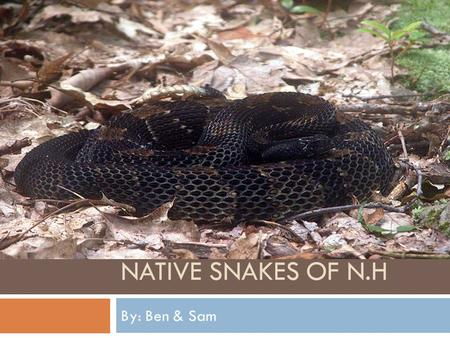 NATIVE SNAKES OF N.H By: Ben & Sam. Snakes in New Hampshire New Hampshire is home to these indigenous snake's. Garter snake.Ribbon snake.Brown snake.Northern.