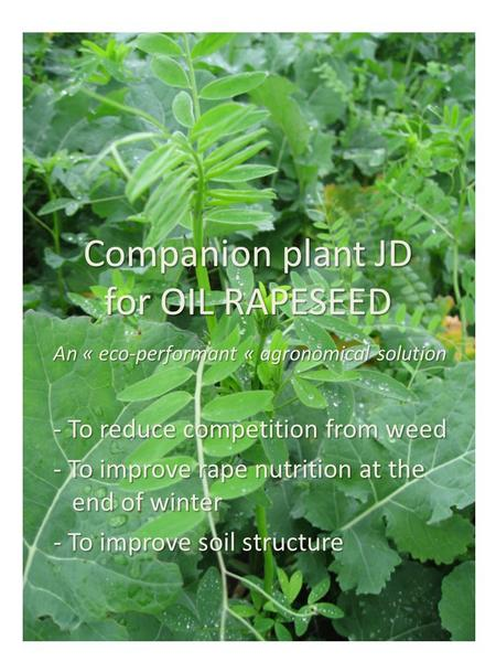 Companion plant JD for OIL RAPESEED - To reduce competition from weed - To improve rape nutrition at the end of winter - To improve soil structure An «