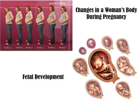 Changes in a Woman's Body During Pregnancy Fetal Development.