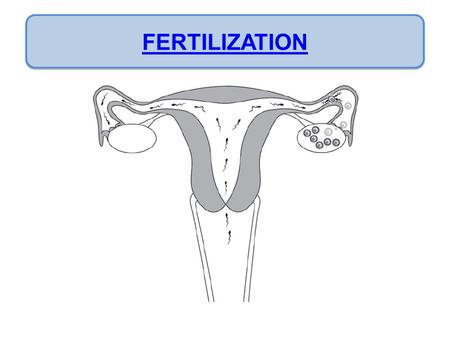 FERTILIZATION. Fertilization/Conception Day 1 sperm and ovum unite Day 7- 10 Zygote attaches to the lining of the uterus (implantation) The placenta.