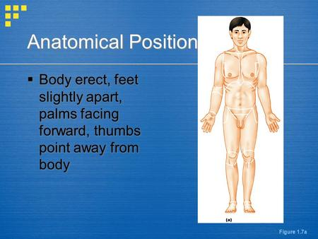 Anatomical Position  Body erect, feet slightly apart, palms facing forward, thumbs point away from body Figure 1.7a.