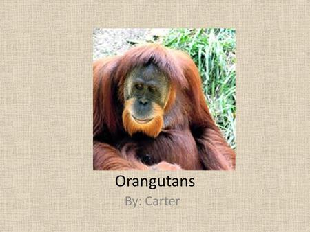 Orangutans By: Carter. Classification and Description Pongo Pygmaeus 88-175 pounds Orange, red to gray, brown Young males don't have cheek pouches.