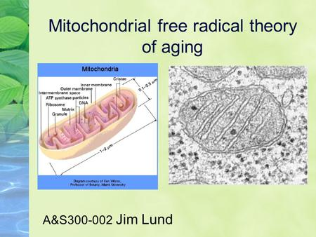 Mitochondrial free radical theory of aging A&S300-002 Jim Lund.