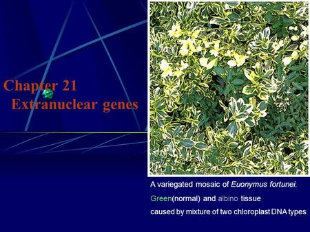 Chapter 21 Extranuclear genes A variegated mosaic of Euonymus fortunei. Green(normal) and albino tissue caused by mixture of two chloroplast DNA types.