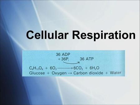 Cellular Respiration. Cellular respiration What does it do?  Uses glucose to create ATP How do plants get glucose? make it themselves (autotroph) How.