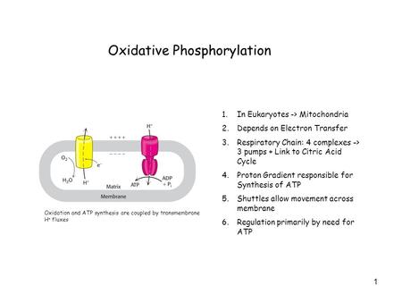 1 Oxidative Phosphorylation 1.In Eukaryotes -> Mitochondria 2.Depends on Electron Transfer 3.Respiratory Chain: 4 complexes -> 3 pumps + Link to Citric.