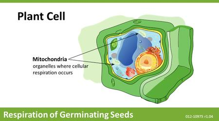 Plant Cell Respiration of Germinating Seeds Mitochondria