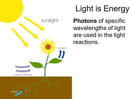 Light is Energy Photons of specific wavelengths of light are used in the light reactions.