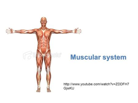 Muscular system http://www.youtube.com/watch?v=ZDDFH7GjwKU.