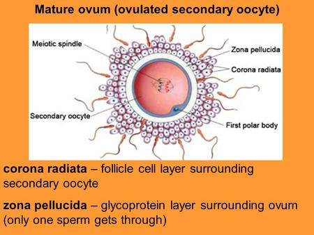 Mature ovum (ovulated secondary oocyte)